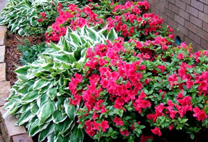 Azaleas and Hostas