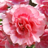 Romance Tall Dianthus