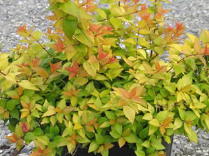 Buy Canyon Creek Abelia Plants Online 3 Gallon Gardener Direct