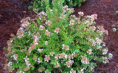 Rose Creek Dwarf Abelia 3 Gallon Shrub Shrubs Low