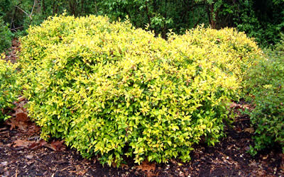 Super Gold Dwarf Abelia Abelia Grandiflora Super Gold 1 Gallon