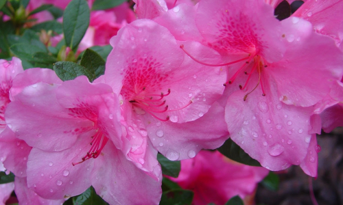 Autumn Empress Encore Azalea
