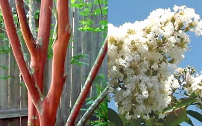 Natchez Crape Myrtle bark and flower