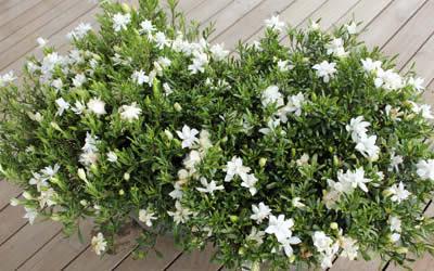 Buy Variegated Creeping Gardenia Gardenia Jasminoides Variegata