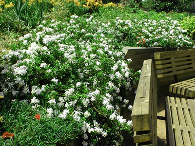 Buy Creeping Dwarf Gardenia Plants Online 3 Gallon Gardener