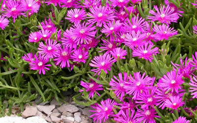 Purple Hardy Ice Plant