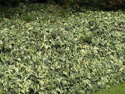 Variegated Algerian Ivy 18 Count Flat Of 3 5 Quot Pots Vines Perennial Vines Evergreen Gardener Direct