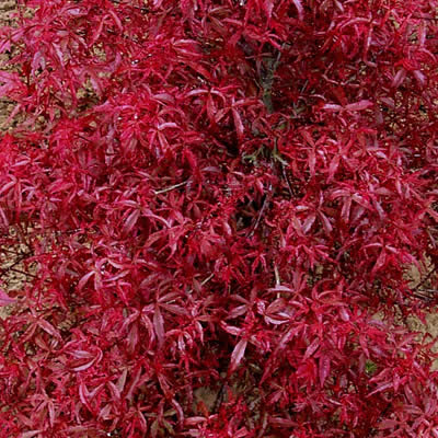 Beni Comanche Japanese Maple in fall