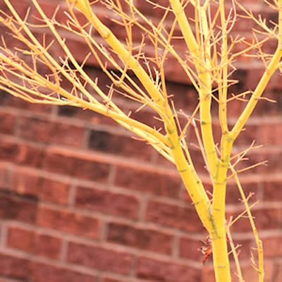 Bihou Golden Bark Japanese Maple