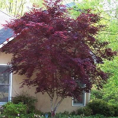 Bloodgood Japanese Maple 3 Gallon Tree Japanese Maples