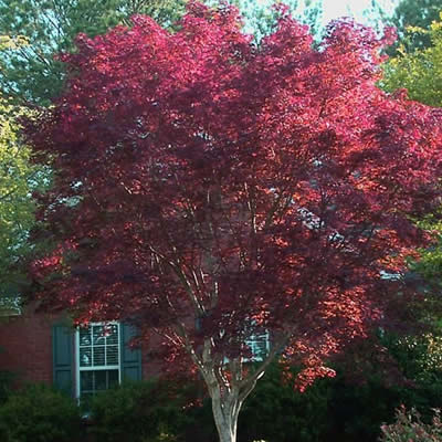 Emperor One Japanese Maple 3 Gallon Tree Japanese Maples All