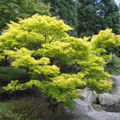 Golden Full Moon Japanese Maple Acer Shirasawanum Aureum 3