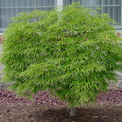 Green Cascade Full Moon Japanese Maple 3 Gallon Tree Japanese