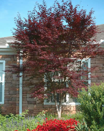 Hefner's Red Japanese Maple