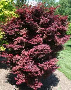 Kandy Kitchen Japanese Maple 3 Gallon Shrub Tree Japanese