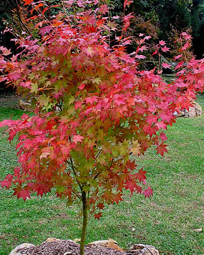 Satsuki Beni Japanese Maple 3 Gallon 30 36 Ht Tree