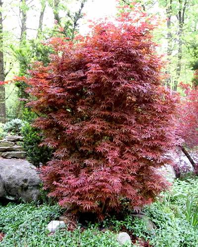 Skeeter S Broom Japanese Maple 2 Gallon 18 24 Ht Tree