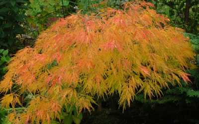 Waterfall Japanese Maple fall color