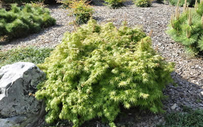 Yuri Hime Sport Dwarf Japanese Maple