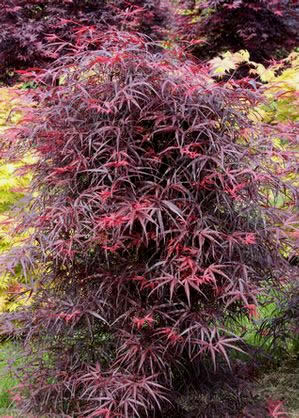 Hubbs Red Willow Japanese Maple