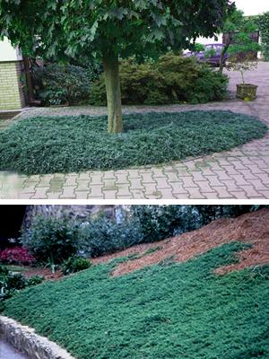 Blue Rug Juniper 2 5 Quart Groundcover Coniferous