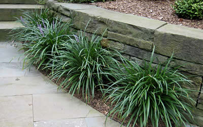 Buy Big Blue Monkey Grass Plants Online 25 Quart Gardener