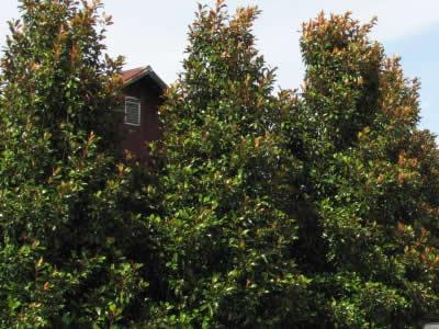 Bracken S Brown Beauty Magnolia 3 Gallon Tree Trees