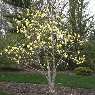 Butterflies Yellow Magnolia Magnolia Butterflies 3 Gallon
