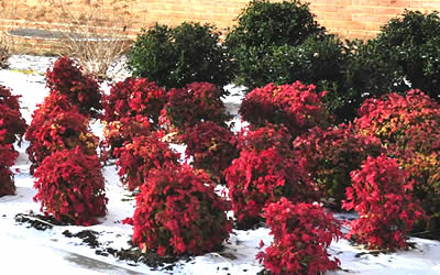 Firepower Nandina during winter