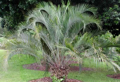More About Pindo Palm