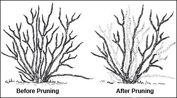 How To Prune Blueberry Bushes Buy Plants Online