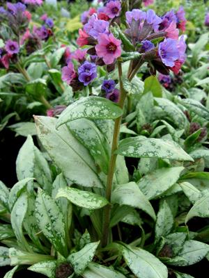 Silver Bouquet Pulmonaria Bethlehem Sage 2 5 Quart Perennial