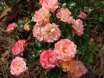 Peach Drift Rose 1 Gallon Shrub Groundcover Rose Roses Groundcovers Gardener Direct