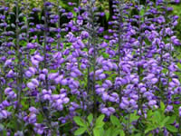Baptisia - False Indigo