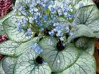 Brunnera - Heart Leaf Forget-Me-Not