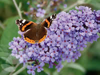 Buddleia - Butterfly Bush