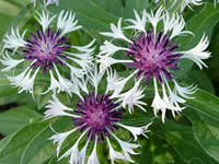 Centaurea - Mountain Bluet