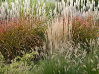 Grasses - Ornamental