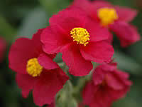Helianthemum - Sun Rose