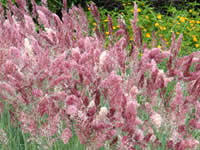 Melinis - Paintbrush Grass