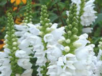 Physostegia - Obedient Plant