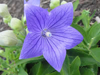 Platycodon - Balloon Flower