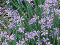Sisyrinchium - Blue Eyed Grass