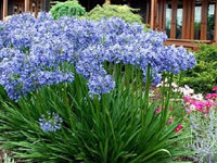 Agapanthus - Lily of the Nile