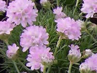 Armeria - Sea Thrift