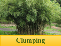 Bamboo Plants - Clumping