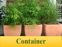 Bamboo Plants for Containers & Pots