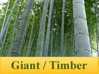 Bamboo Plants - Giant / Timber