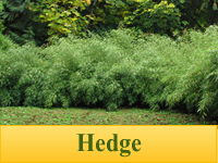 Bamboo Plants for Hedges