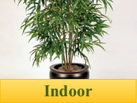 Bamboo Plants for Indoor Use